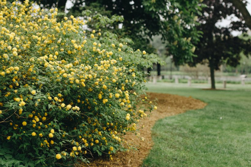 Yellow flowers on a bush.